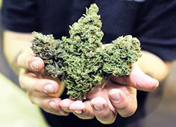 marijuana, ganja, or canabis sativa - in hands